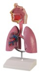 Atmungsorgane