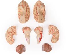 Gehirnmodell, 9-teilig mit Arterien