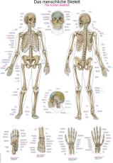 Lehrtafel eines menschlichen Skeletts