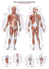 Lehrtafel Die menschliche Muskulatur