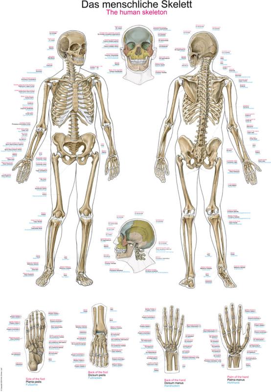 Lehrtafel eines menschlichen Skeletts günstig kaufen