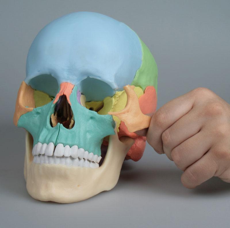 Osteopathie-Schädelmodell, 22-teilig günstig kaufen